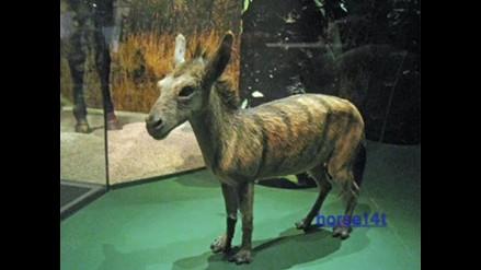 Los caballos sufrieron notables cambios de tamaño durante su evolución