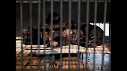 Se extrae bilis de oso en criaderos de una empresa en China