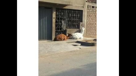 Santa Anita: Llamas son amarradas a una ventana sin protección al sol