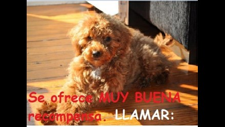 Se busca Perro Poodle Whisky
