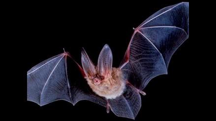 Bandada de murciélagos atemoriza a ciudadanos de Trujillo