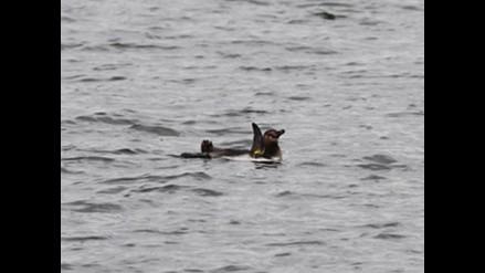Buscan pingüino Humboldt que escapó de acuario japonés