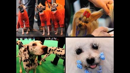 Juguetones y glamorosos son los canes que participan en el Crufts