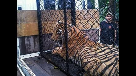 Hallan canguros, tigres y leones albinos en una vivienda de Tailandia