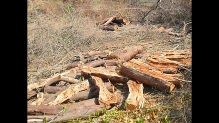 El algarrobo, un árbol con historia y tradición en Piura