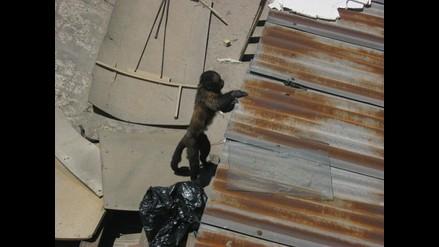 Arequipa: Mono causa temor en vecinos de la calle Santo Domingo