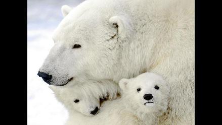 Amor polar: Los oseznos del zoológico de Moscú salen de la madriguera