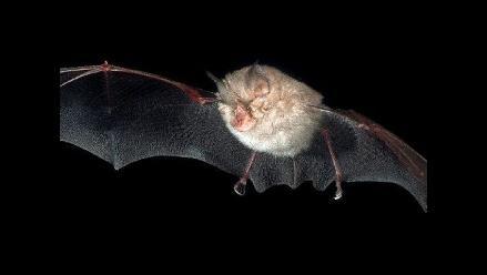 Junín: Vacunan a 80 pobladores mordidos por murciélagos