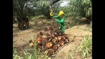 Perú tiene 1.4 millones de hectáreas para producir palma aceitera