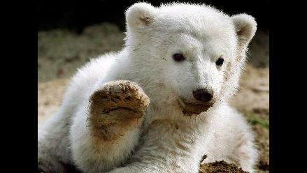 Extraño mal provoca caída de pelo en osos polares