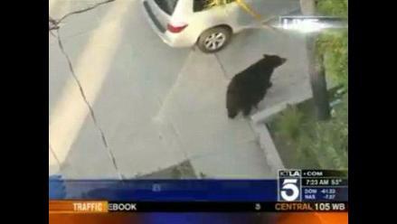 Hombre distraído camina hacia oso en plena vía pública