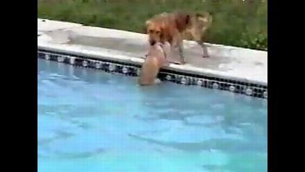La perra que salvó a su cría en una piscina es la sensación de YouTube