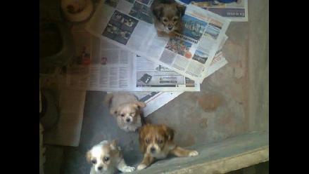 Cachorritos de tamaño pequeño en adopción
