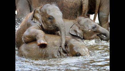 Cinco elefantes bebés crecen en su palacio de la jungla