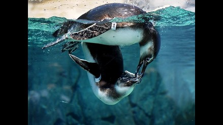 Pingüinos de Magallanes son la nueva atracción de Acuario de California