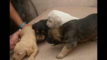 Cachorritos cruce Rottweiller buscan hogares, viven en un lugar peligroso