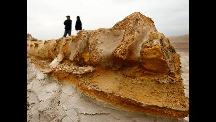 Protegen y estudian fósiles cetáceos en destierto de Ocucaje