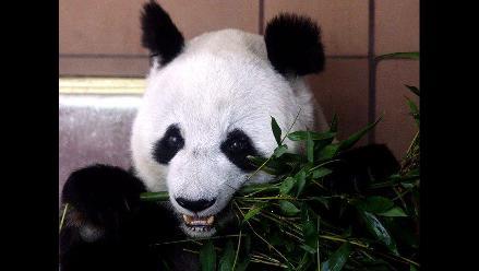 México firma convenio con Beijing para reproducción de panda gigante