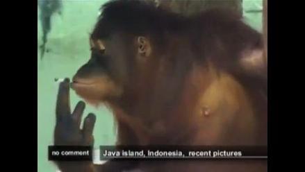 Buscan apartar a orangután fumador de su vicio
