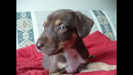 Lindos cachorros de dos meses en adopción