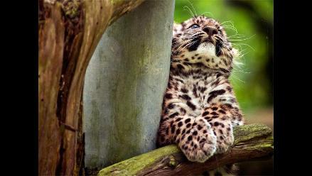 Leopardo de Amur de tres meses causa sensación en zoológico de Francia