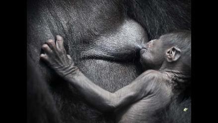 Bebé gorila nace en Alemania