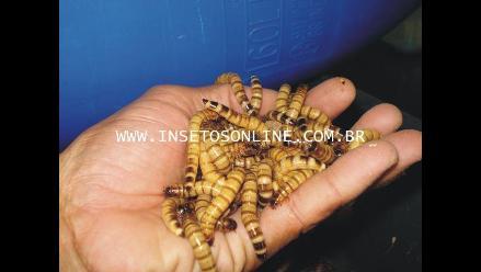 Empresa brasileña pretende producir insectos para consumo humano