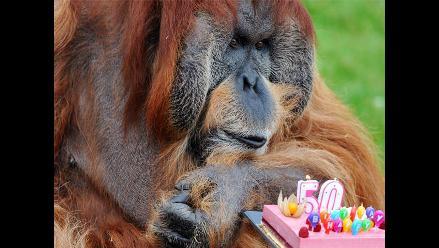 Orangután Major celebra sus 50 años en zoológico de Francia