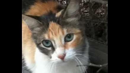 Hermosa gatita Belén en adopción ¡Mira esos ojazos!