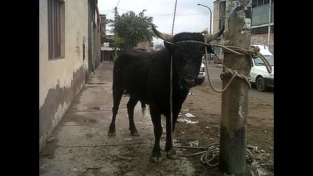 Toro se escapa y genera pánico en Villa El Salvador