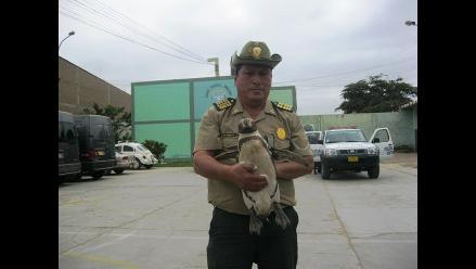 Chiclayo: Encuentran pingüino deambulando por calles de Pomalca