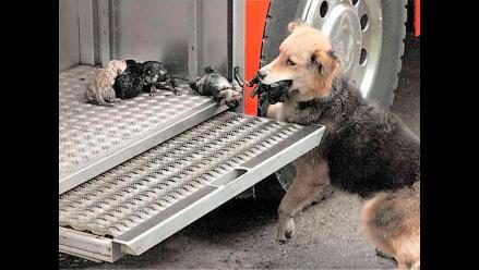 Perra rescata a sus cachorros de incendio y acude a los bomberos