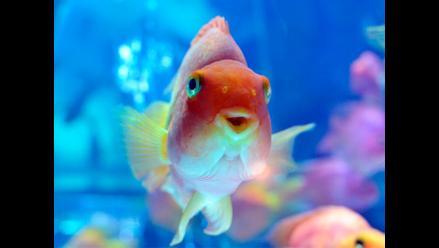 Una colorida exhibición artística de peces de colores en ´Art Aquarium´