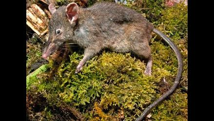 Científicos descubren nueva especie de rata sin dientes