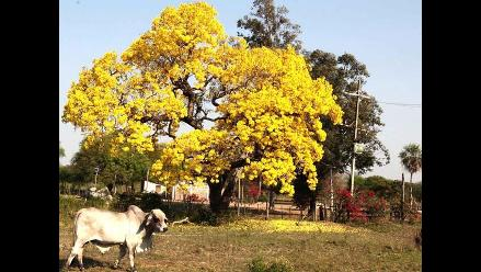 Lapacho: flor de primavera que se extingue
