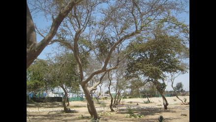 Organizan segundo festival del huarango en Paracas