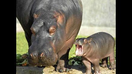 Parque de Las Leyendas celebra segundo cumpleaños de hipopótamo Sol