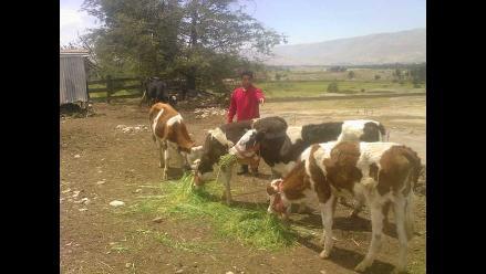 Piura: Ganado caprino muere por consumir agua contaminada en Las Lomas