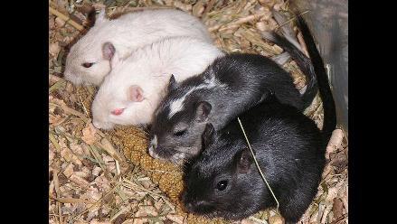 eeuu cientficos descubren que los ratones pueden cantar