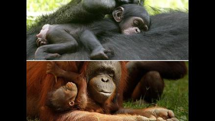Primates en peligro de extinción se reproducen en México