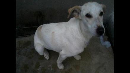 Pincel, perrito de ocho meses, se perdió en Carapongo