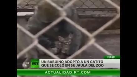 Mono adoptó a gatito en zoológico israelí