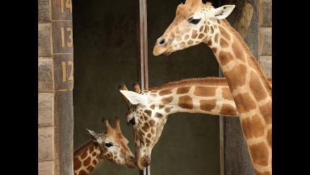 Jirafa Kitoto llega al Taronga Zoo
