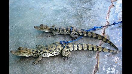 Recuperan caimanes que iban a ser comercializados en Chiclayo