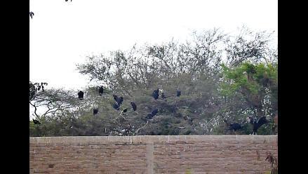 Inician caza sanitaria de gallinazos en la ciudad de Chiclayo