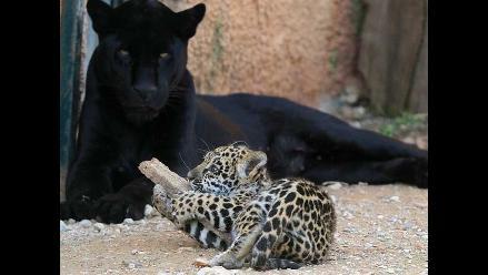 Investigadores brasileños buscarán clonar a jaguares y lobos