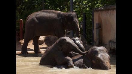 Elefante embarazada en Australia