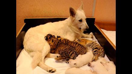 Cachorros de tigre son adoptados por perrita ovejera en Rusia