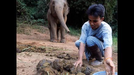 Café marfil negro es procesado en intestinos de elefante