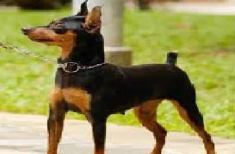 En búsqueda de Bambi, perrito asmático perdido en San Isidro